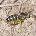 American Sand Wasp - Photo (c) Scott King, some rights reserved (CC BY-NC)