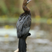 Pygmy Cormorant - Photo (c) Paul, all rights reserved, uploaded by creaturesnapper