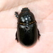 Tomarus cuniculus - Photo (c) Jay L. Keller, כל הזכויות שמורות