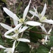 Common Clematis - Photo (c) annbentley, all rights reserved