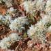 Paronychia argentea - Photo (c) mjcorreia, todos los derechos reservados