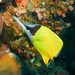 Forceps Butterflyfish - Photo (c) Lesley Clements, all rights reserved