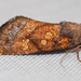 Aster Borer Moth - Photo (c) Larry Clarfeld, all rights reserved