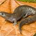 Salamandra de Arroyo - Photo (c) John Clare, todos los derechos reservados