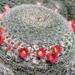 Mammillaria klissingiana - Photo (c) Lex García, all rights reserved