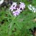 Glandularia bipinnatifida - Photo (c) Lex García, כל הזכויות שמורות