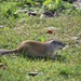 Franklin's Ground Squirrel - Photo (c) dherrera13, all rights reserved