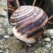Chocolate-band Snail - Photo (c) Andrea Maurici, all rights reserved