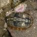 Cyanoplax hartwegii - Photo (c) Cedric Lee, todos los derechos reservados