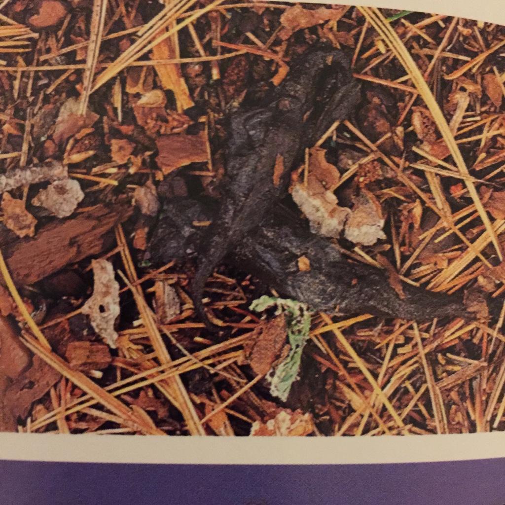 Fisher Utah Mammals Inaturalist