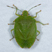 Chinche Verde Apestosa - Photo (c) Don Loarie, algunos derechos reservados (CC BY)
