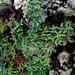 Argyrochosma limitanea mexicana - Photo (c) Lex García, todos los derechos reservados