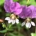 Cuphea laminuligera - Photo (c) Ryan Terrill, todos los derechos reservados