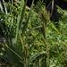 Andropogon glomeratus pumilus - Photo (c) Jay L. Keller, todos los derechos reservados