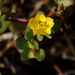 Common Purslane - Photo (c) Jay L. Keller, all rights reserved