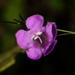 Agalinis purpurea - Photo (c) Jay L. Keller, כל הזכויות שמורות