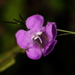 Purple False Foxglove - Photo (c) Jay L. Keller, all rights reserved