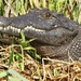 Southern African Crocodile - Photo (c) scott_phares, all rights reserved