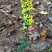Slender Goldenrod - Photo (c) jptuttle, all rights reserved