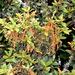 Quercus miquihuanensis - Photo (c) Lex García, todos los derechos reservados