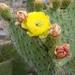 Opuntia leucotricha - Photo (c) Lex García, όλα τα δικαιώματα διατηρούνται