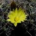 Mammillaria melaleuca - Photo (c) Lex García, all rights reserved