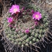 Mammillaria melanocentra rubrograndis - Photo (c) Lex García, all rights reserved
