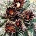 Glandulicactus uncinatus uncinatus - Photo (c) Lex García, todos los derechos reservados