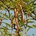 Mezquite Blanco - Photo (c) Lex García, todos los derechos reservados