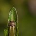 Lasionota minor - Photo (c) Patrich Cerpa, todos los derechos reservados