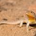 Liolaemus nigromaculatus - Photo (c) Patrich Cerpa, todos los derechos reservados