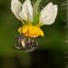 Colletes seminitidus - Photo (c) Patrich Cerpa, todos los derechos reservados