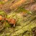Daceton armigerum - Photo (c) Patrich Cerpa, כל הזכויות שמורות