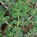 Euphorbia velleriflora - Photo (c) Lex García, todos os direitos reservados