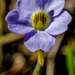 Small Butterwort - Photo (c) j_albright, all rights reserved