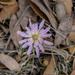 Lactuca graminifolia - Photo (c) jmanuelgbasurto, todos los derechos reservados