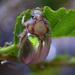 Phytholaema mutabilis - Photo (c) Patrich Cerpa, όλα τα δικαιώματα διατηρούνται