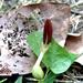 Aristolochia orbicularis - Photo (c) Lex García, todos los derechos reservados
