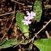 Elytraria bromoides - Photo (c) Lex García, todos los derechos reservados