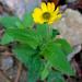 Melampodium montanum - Photo (c) Lex García, todos os direitos reservados