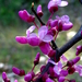 Eastern Redbud - Photo (c) Lex García, all rights reserved