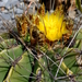 Ferocactus echidne victoriensis - Photo (c) Lex García, todos los derechos reservados