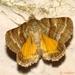 Synthymia fixa - Photo (c) Valter Jacinto, todos los derechos reservados