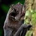 Muciélagos Mastines - Photo (c) Jose G. Martinez-Fonseca, todos los derechos reservados