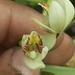 Eria coronaria - Photo (c) Chandan Pandey, todos os direitos reservados