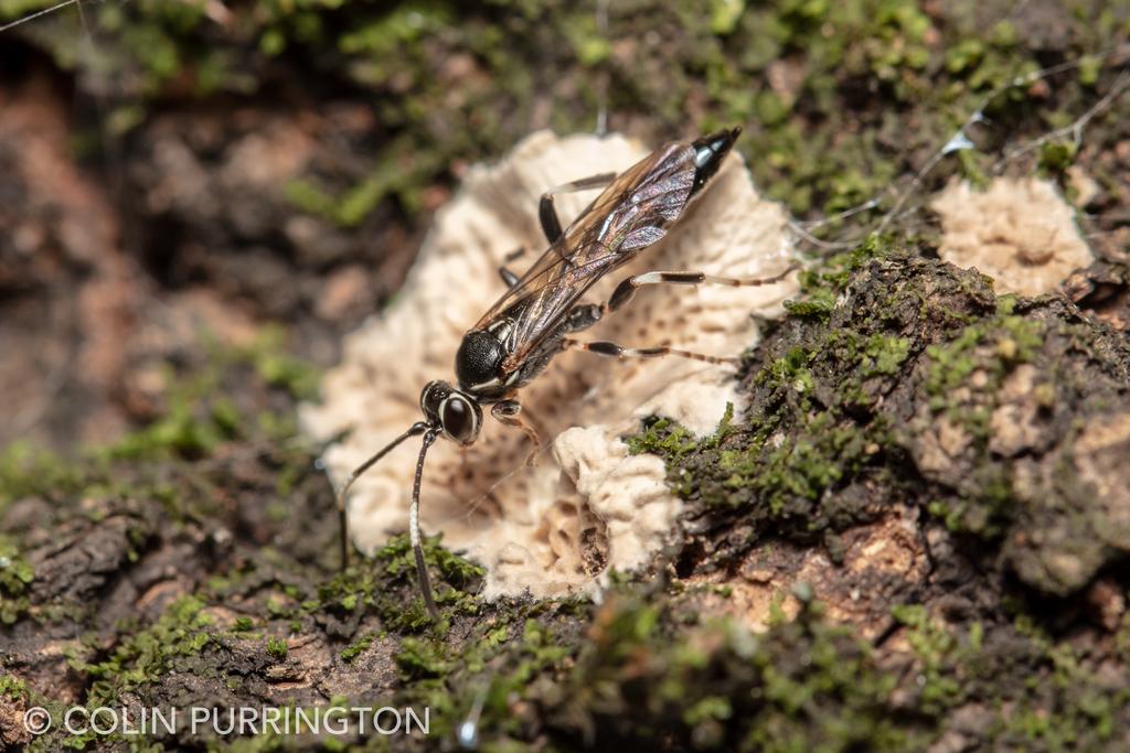 Coelichneumon navus (female)