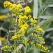 Solidago sempervirens - Photo (c) Bill Keim,  זכויות יוצרים חלקיות (CC BY)