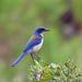 Urraca de Santa Cruz - Photo (c) Nigel Voaden, todos los derechos reservados