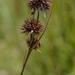 Rhynchospora cephalantha - Photo (c) j_albright, kaikki oikeudet pidätetään