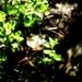 Texas Fluffgrass - Photo (c) Lex García, all rights reserved